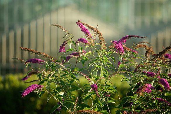 Butterfly Bush in front of Meijer Gardens.