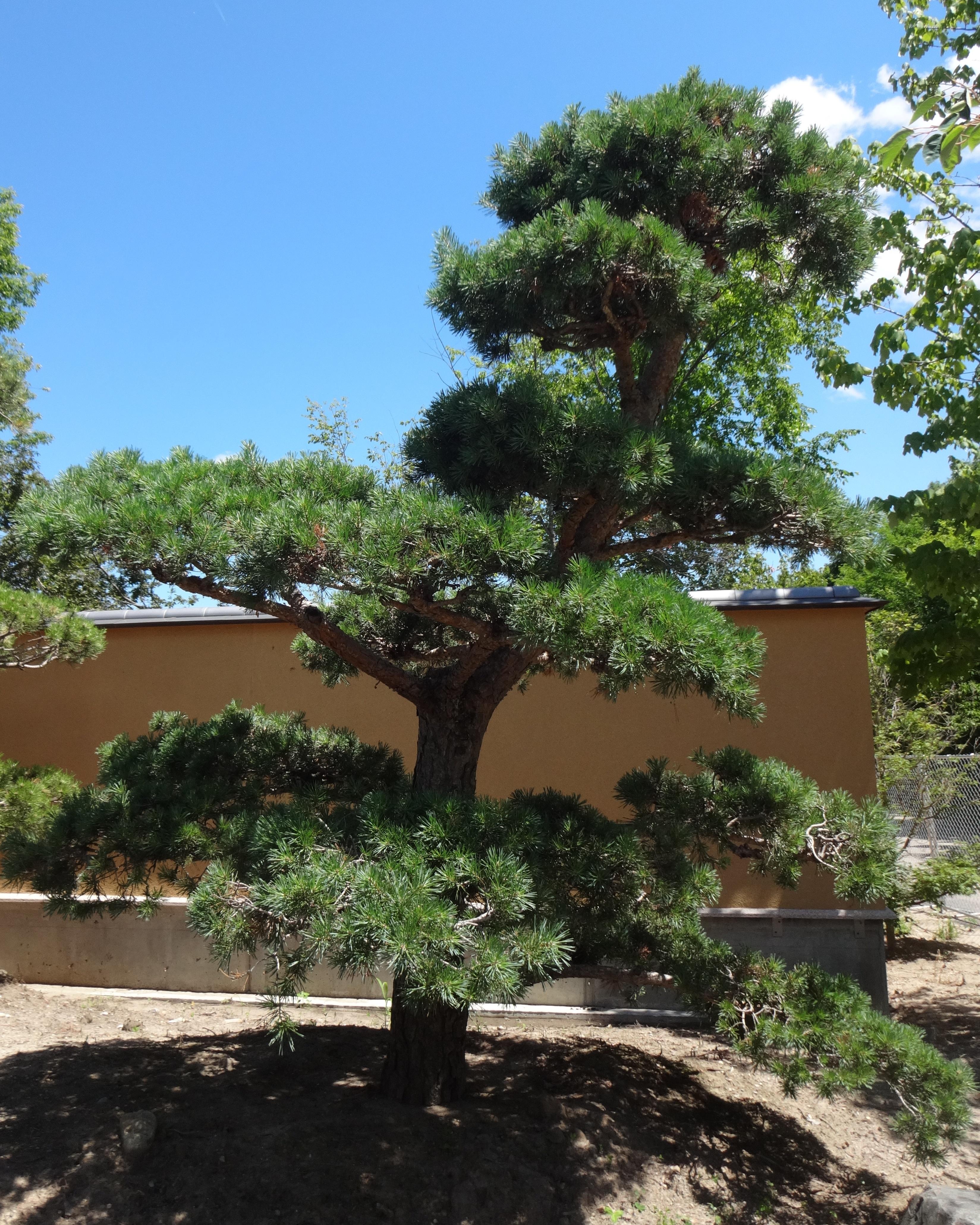 Plants in the richard helen devos japanese garden for Japanese garden trees