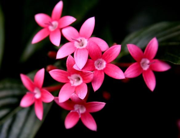 Pentas_flowers